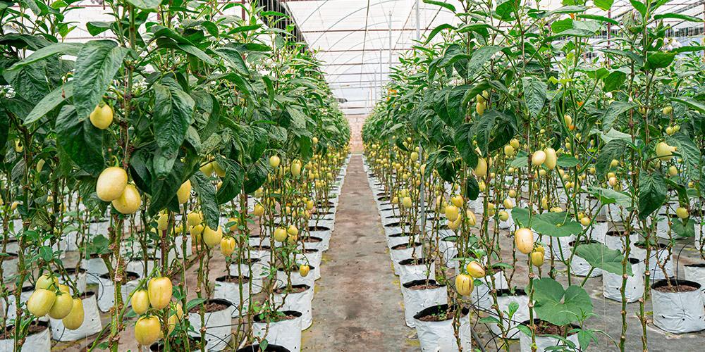 vườn dưa pepino HiFarm