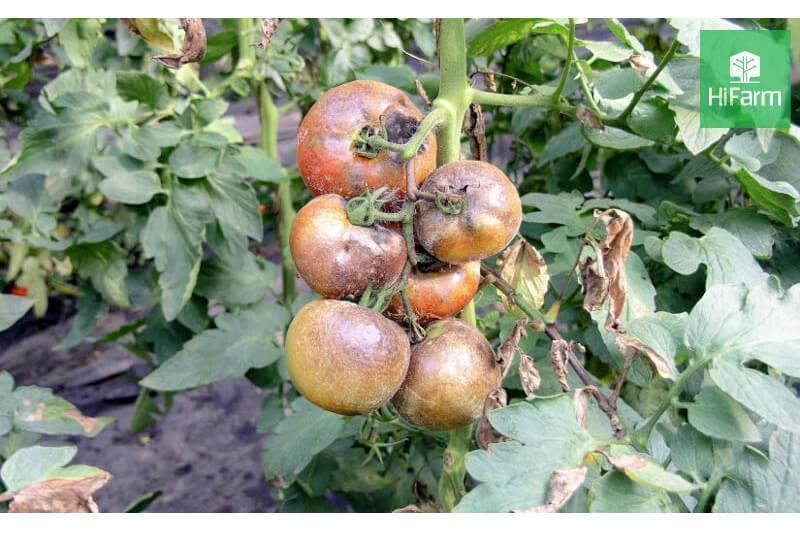 bệnh bã trầu trên cà chua