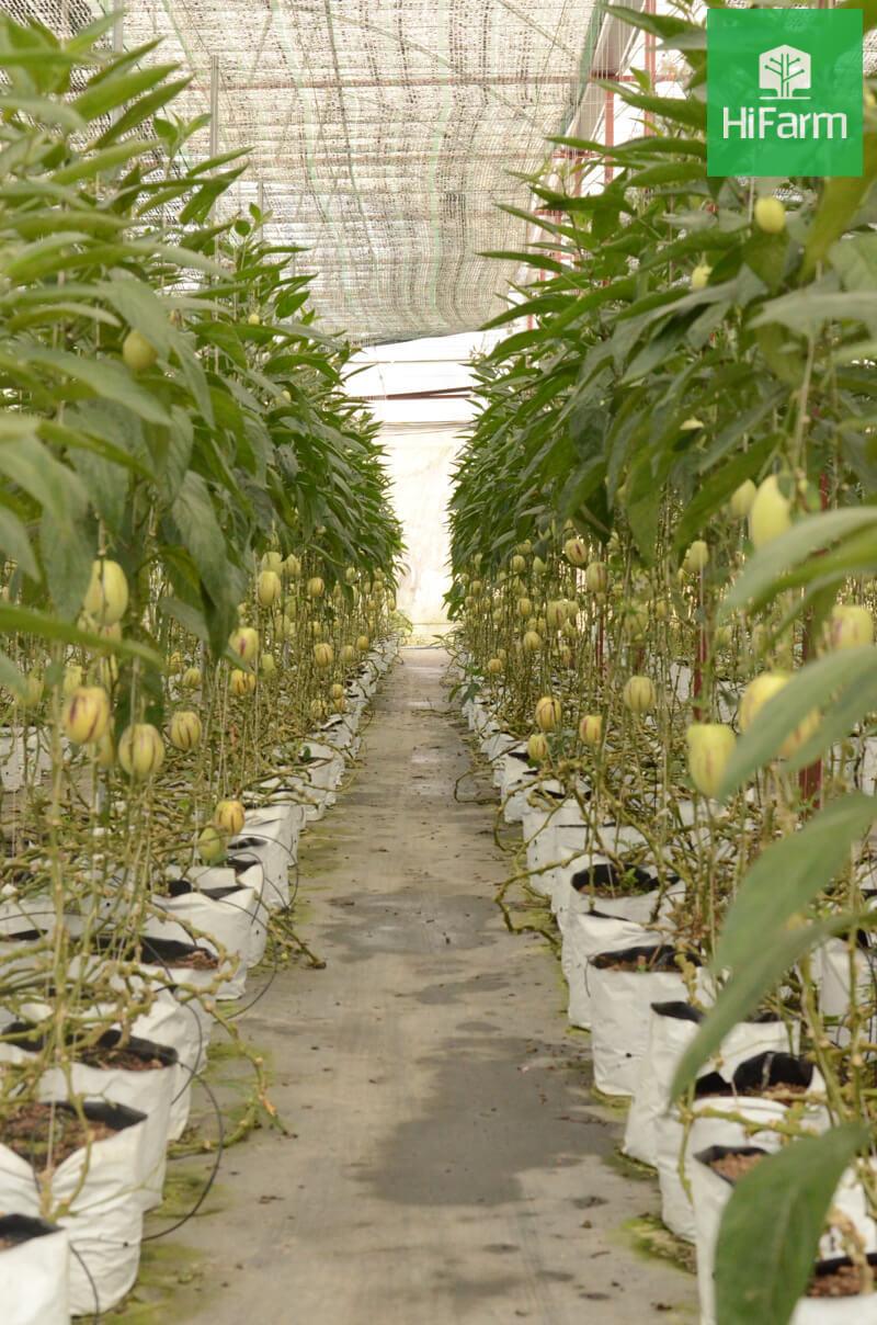 Dưa pepino có dễ trồng không