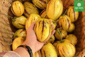 Làm thế nào để cách trồng Dưa Pepino tại nhà đạt hiệu quả cao