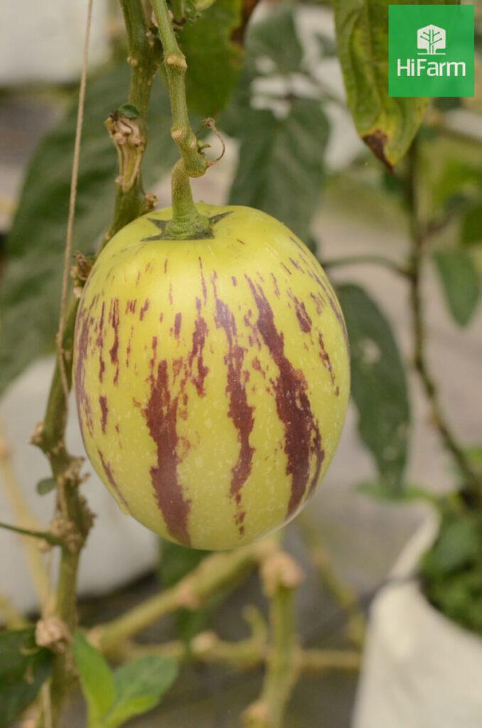 quả dưa pepino