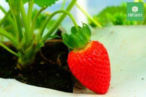 Kỹ thuật trồng dâu tây