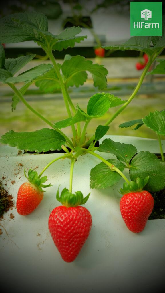 quy trình trồng dâu tây