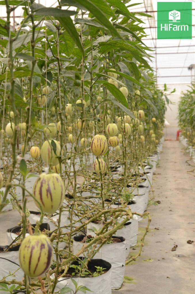 Trồng cây nông nghiệp công nghệ cao