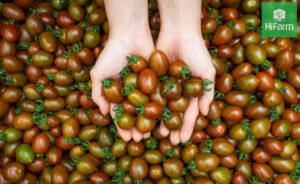 vườn cà cherry socola Hifarm đà lạt