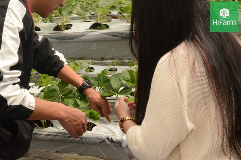 Vườn dâu tây Đà Lạt
