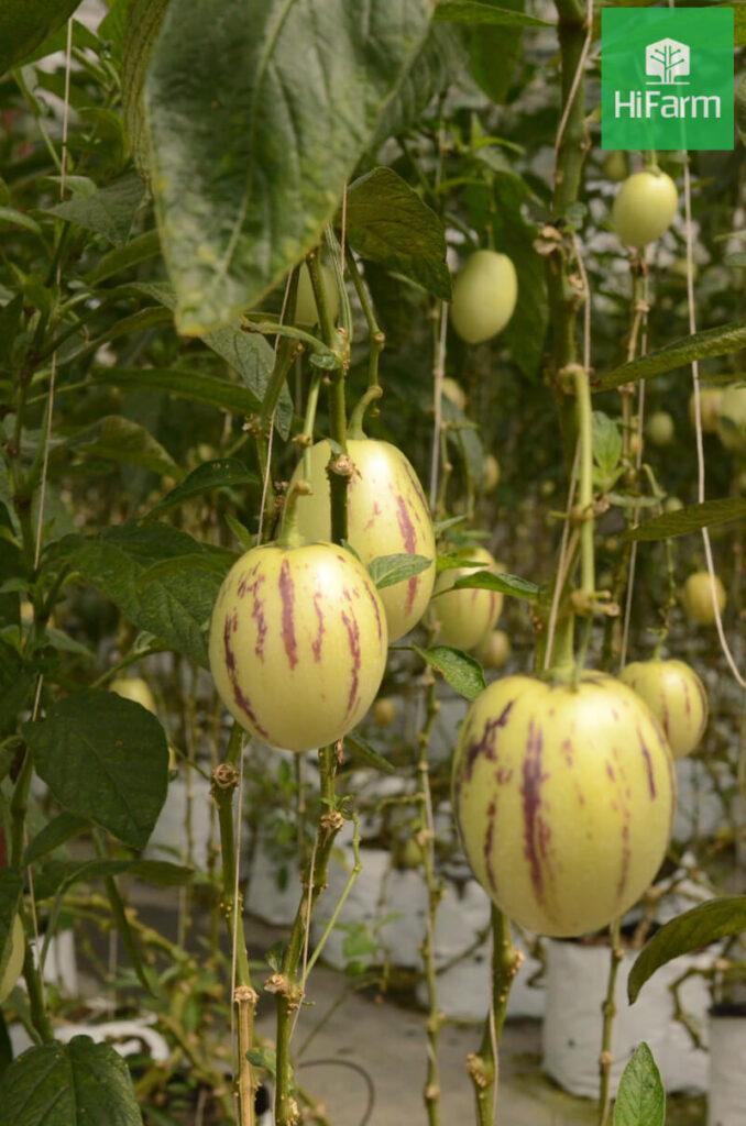 vườn dưa pepino đà lạt