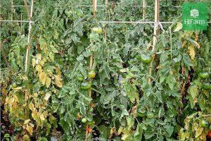 Bệnh héo xanh trên cây cà chua