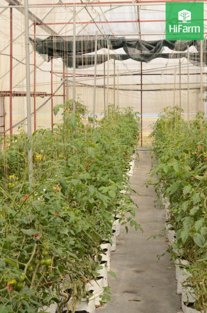 bệnh lở cổ rễ cà chua