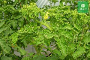Bệnh xoăn lá cà chua