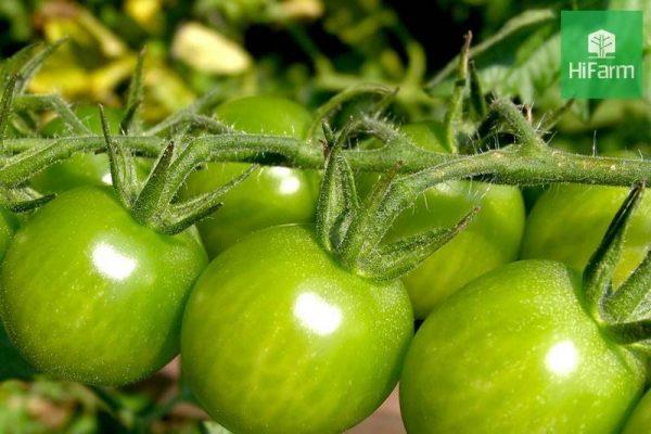 """Cà chua xanh có thực sự là """"độc dược"""" đối với cơ thể của chúng ta?"""