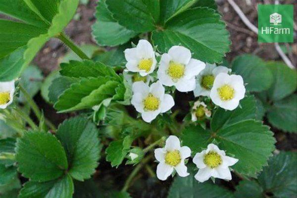 cách chăm sóc dâu tây khi ra hoa