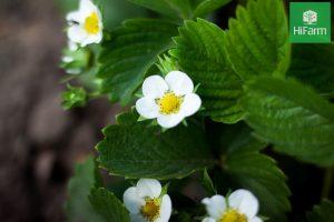 Cách kích thích dâu tây ra hoa