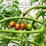 """Hướng dẫn cách trồng Cà Cherry dành cho các """"nhà nông"""" tại nhà"""