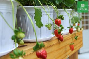 cách trồng dâu tây trong chậu