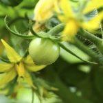 Triệu chứng và biện pháp khắc phục các bệnh thường gặp ở cây cà chua
