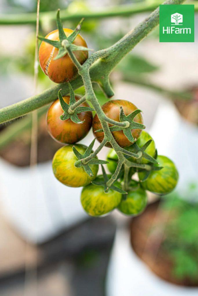 cà chua trái cây đà lạt