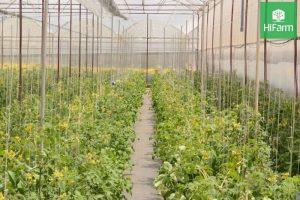 cấu tạo hoa cà chua