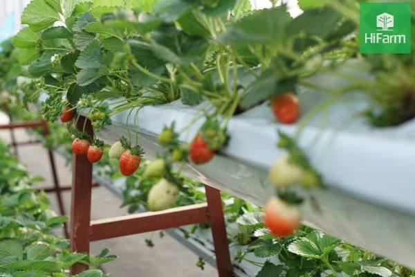 Cách chăm sóc dâu tây khi ra quả tại nhà giúp cây khỏe, trái ngon