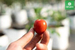 Độ brix của cà chua