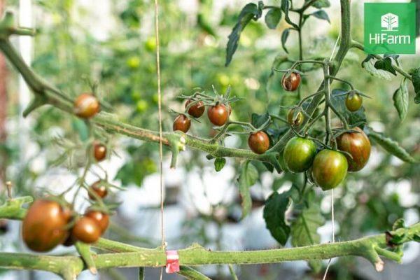 tổng quan về cà chua