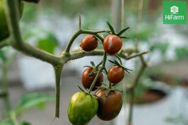Tổng quan về cà chua, loại quả quen thuộc tràn đầy dinh dưỡng