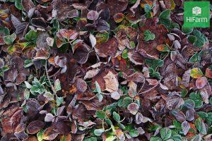 Cây dâu tây bị héo lá