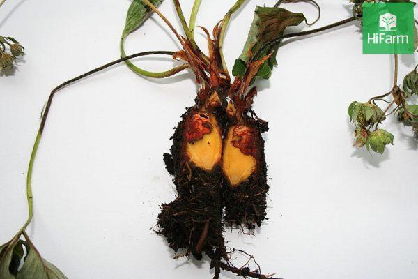 dâu tây bị thối gốc