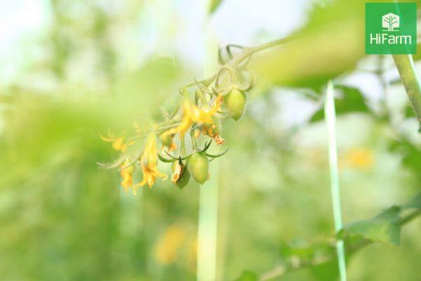 hoa cà chua bị rụng