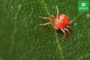nhện đỏ hại cà chua