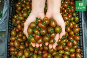 Trồng cà chua năng suất cao