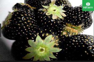 kỹ thuật trồng dâu tây đen