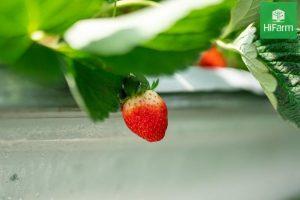 cách trồng dâu tây ở miền Nam