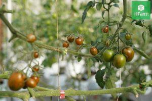 hướng dẫn trồng cà chua