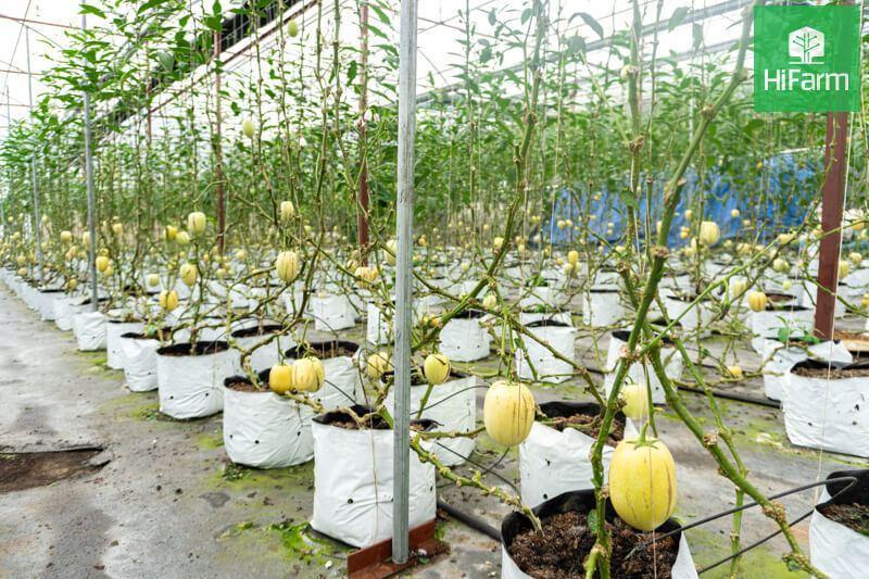 Áp dụng kỹ thuật công nghệ cao vào trồng Dưa Pepino VietGAP