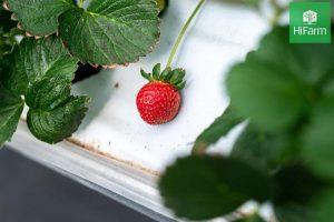 cách trồng dâu tây từ hạt