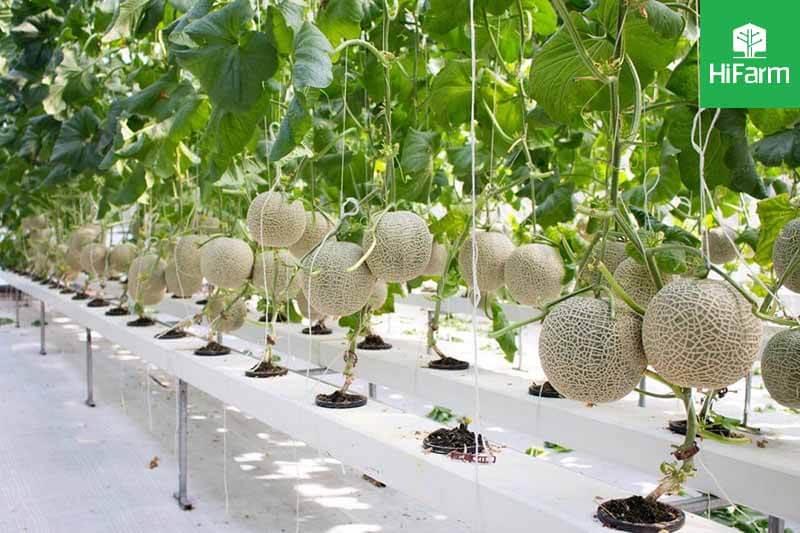Kỹ thuật trồng dưa lưới Nagami thủy canh sao cho hiệu quả?