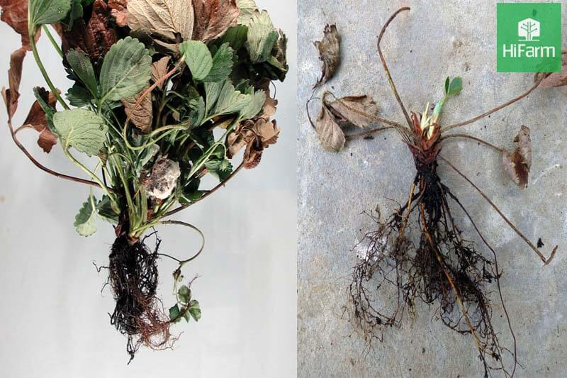 Hành trình tìm vị cứu tinh cho các loại bệnh thường gặp ở dâu tây