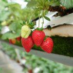 Cách trồng Dâu New Zealand tại nhà sai trĩu quả như chuyên gia