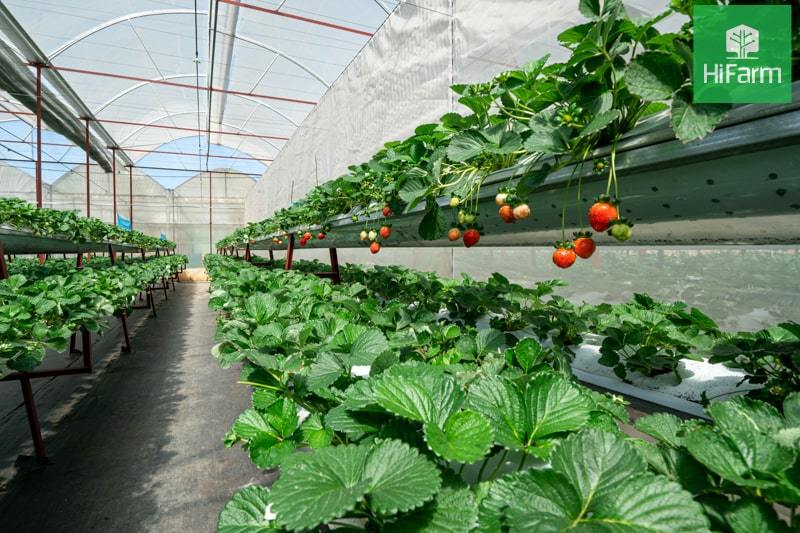 Cách trồng cây dâu tây dâu tây sai trĩu quả như chuyên gia