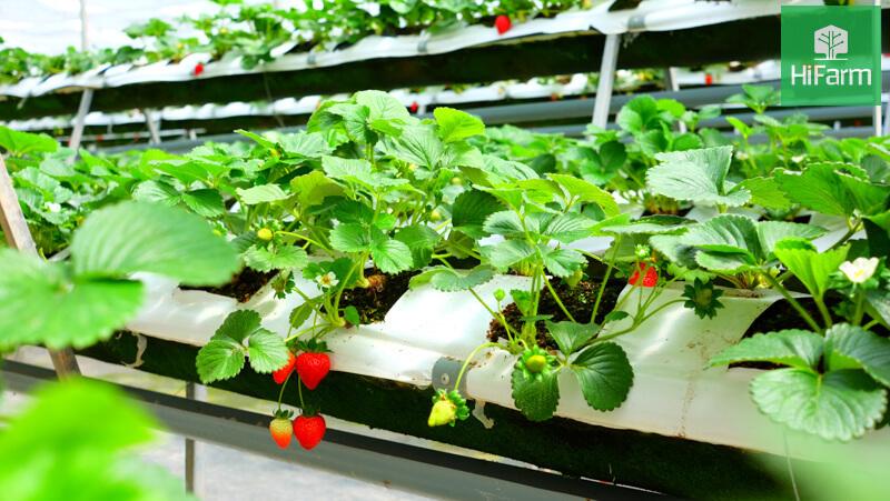 Cách trồng dâu tây tại nhà sai trĩu quả như chuyên gia