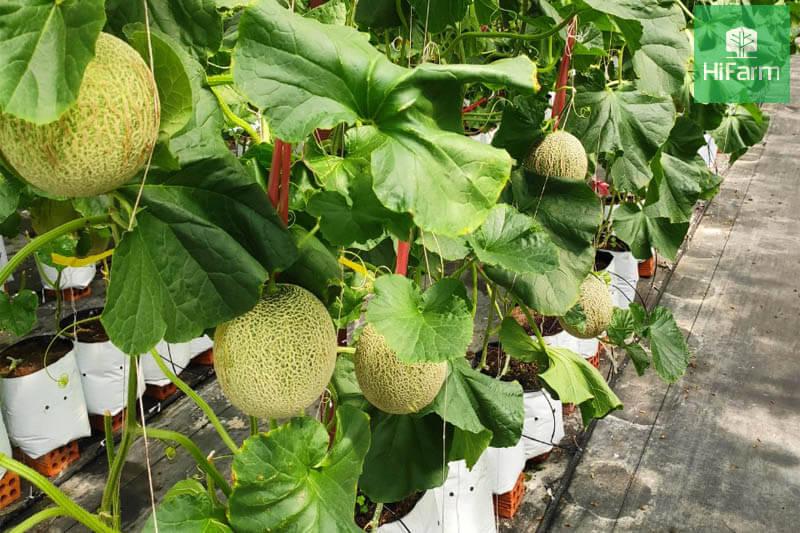 Dưa lưới Nagami - nhà máy dinh dưỡng tuyệt vời cho sức khỏe
