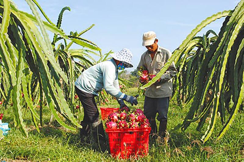 Thanh long vụ Tết khiến nông dân thấp thỏm