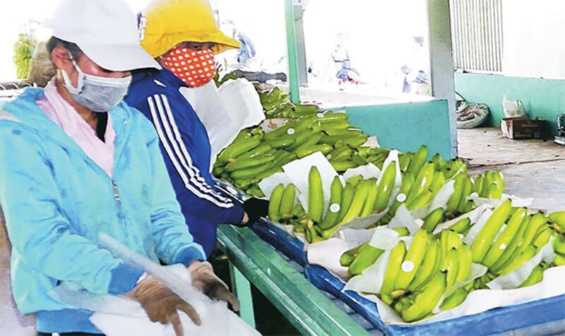 Xuất khẩu chuối ra thị trường quốc tế