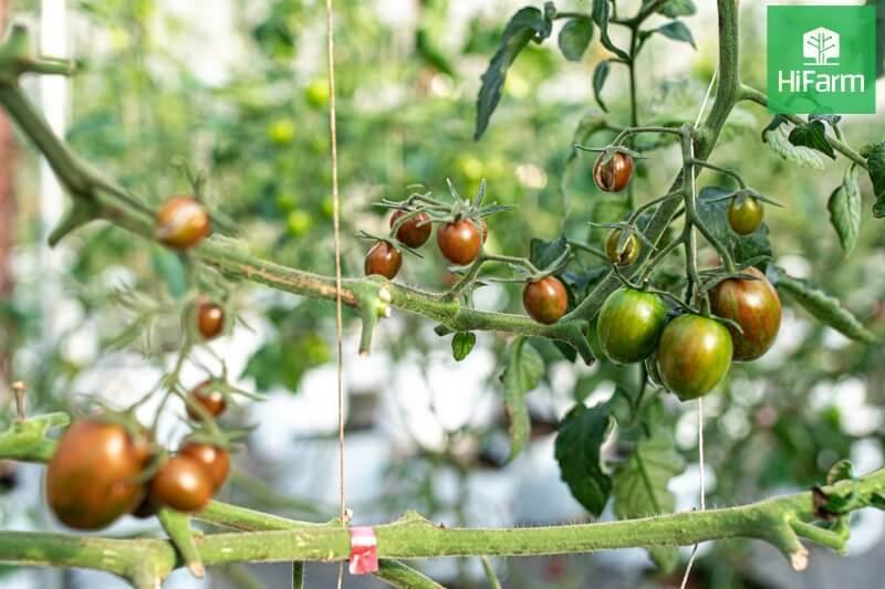 Vườn Cà Chua Cherry Socola HiFarm Đà Lạt – Khu vườn công nghệ cao