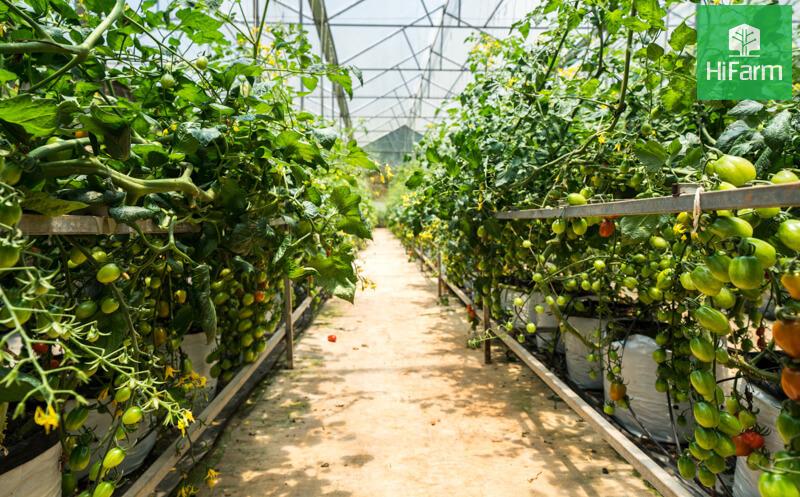 Nông nghiệp công nghệ cao và những nỗi khổ chưa kể