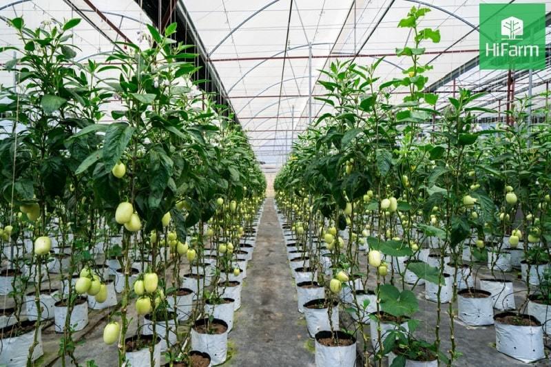 Bạn có biết Vườn Dưa Pepino Đà Lạt nào đẹp nhất