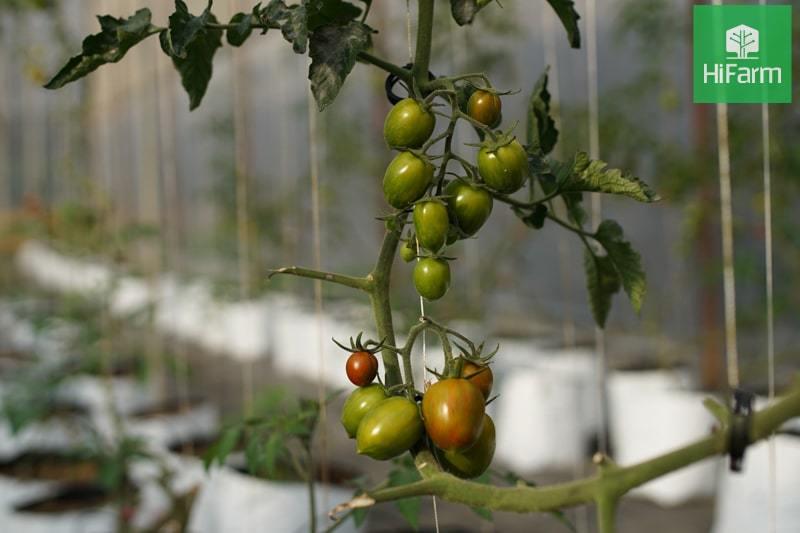 Huy động 60 triệu USD để trồng cà chua trên sa mạc