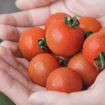 Ngỡ ngàng với loại 'cà chua Lâm Đồng' giá nửa triệu đồng/kg