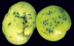 Đâu là biện pháp phòng chống hiệu quả bệnh đốm vi khuẩn hại cà chua?